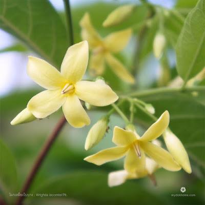 ดอกโมกใบบาง ( Wrightia lecomtei ) ดอกดอกโมกพื้นเมืองของไทย
