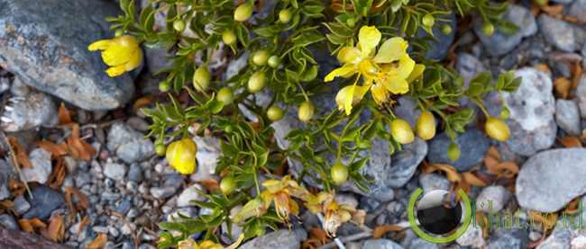 Larrea tridentata atau creosote bush