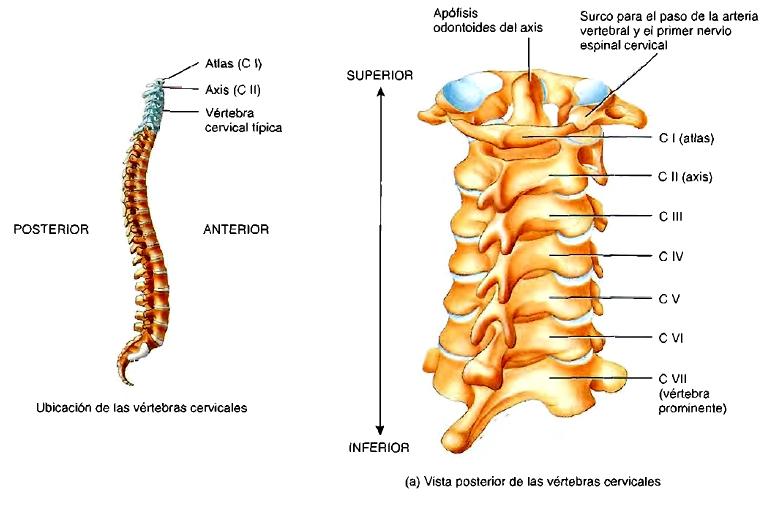 Contemporáneo Séptima Vértebra Cervical Foto - Anatomía de Las ...