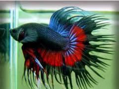 Ikan Hias Kecil Jenis Cupang