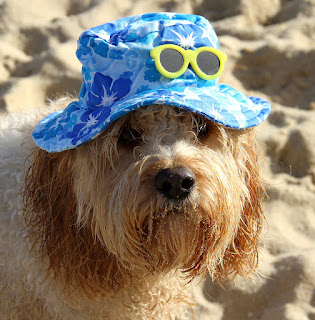 Little dog on the beach wearing More Than Paws Hawaiian Bucket Hat with yellow sunglasses