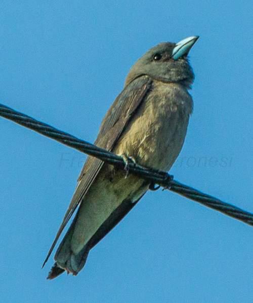 Indian birds - Picture of Ashy woodswallow - Artamus fuscus