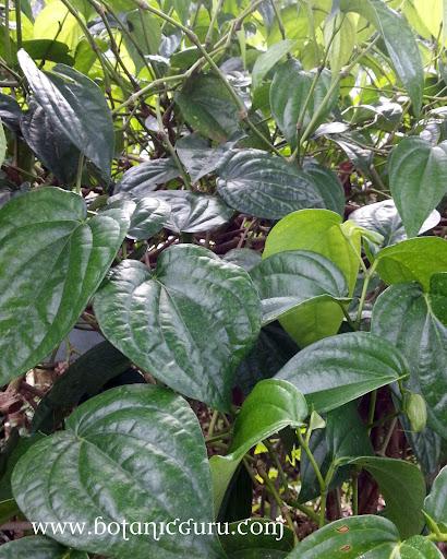 Piper betle, Betel Leaf