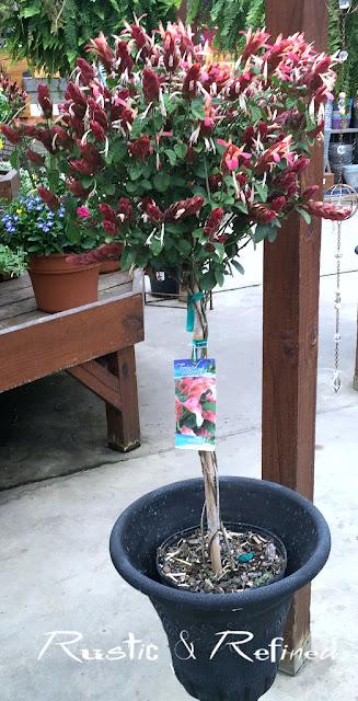 Spring flowering Shrimp Flower, a tropical colorful plant