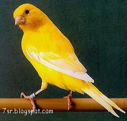 صور عصافير كناري , معلومات عن عصفور الكناريا
