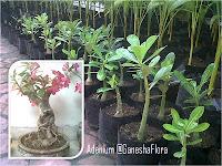 Adenium Kamboja Jepang