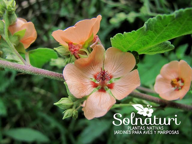 Sphaeralcea bonariensis Malva Blanca