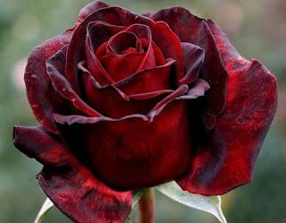 gambar bunga mawar indah 29