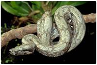 Cobras não-peçonhentas - Jiboia, cobra constritora
