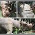 Photos: A Huge Hippopotamus Captured in River Oti in the Northern region