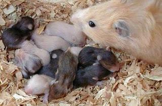 cara budidaya hamster campbell,cara budidaya hamster anggora,cara ternak hamster yang baik dan benar,beternak hamster yang baik,ternak hamster pemula,peternakan hamster,ternak hamster anggora,