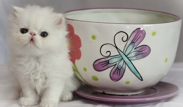 teacup cats, persian teacup cats, kucing kecil, 7 cara pelihara teacup cat