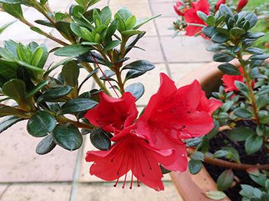 Azalea roja cultivada en maceta
