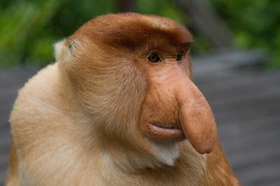 ilginç maymun