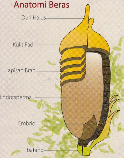 anatomi beras