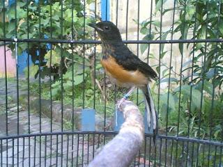 Burung Murai Batu - Indukan Jantan yang Berkarakter Suka Membuang Anakannya - Solusinya Menanganinya - Penangkaran Burung Murai Batu