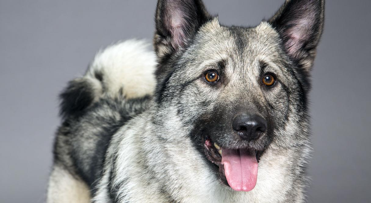 everything about your norwegian elkhound luv my dogs