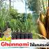 อินทผลัมตัวผู้ พันธุ์ Ghannami คุ้มค่ากว่า ให้เกสรมากว่า 3-5 เท่า