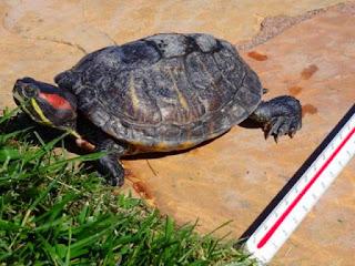 Cara Mengatasi Shell Rot Pada Kura-kura - Kuranesia