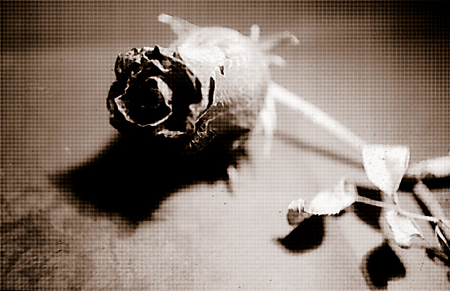 Blog do Barão de General Severiano: A rosa está aqui