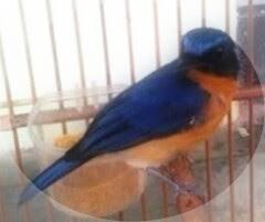 susah simpel memang biar burung liar makan voer terutama ini terjadi pada burung tledekan Cara Agar Burung Tledekan Makan Voer