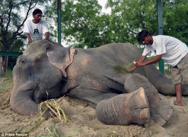 Raju - The elephant who was crying when he was liberated