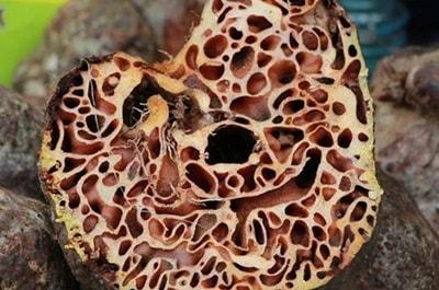 Efek Sarang Semut Untuk Ginjal