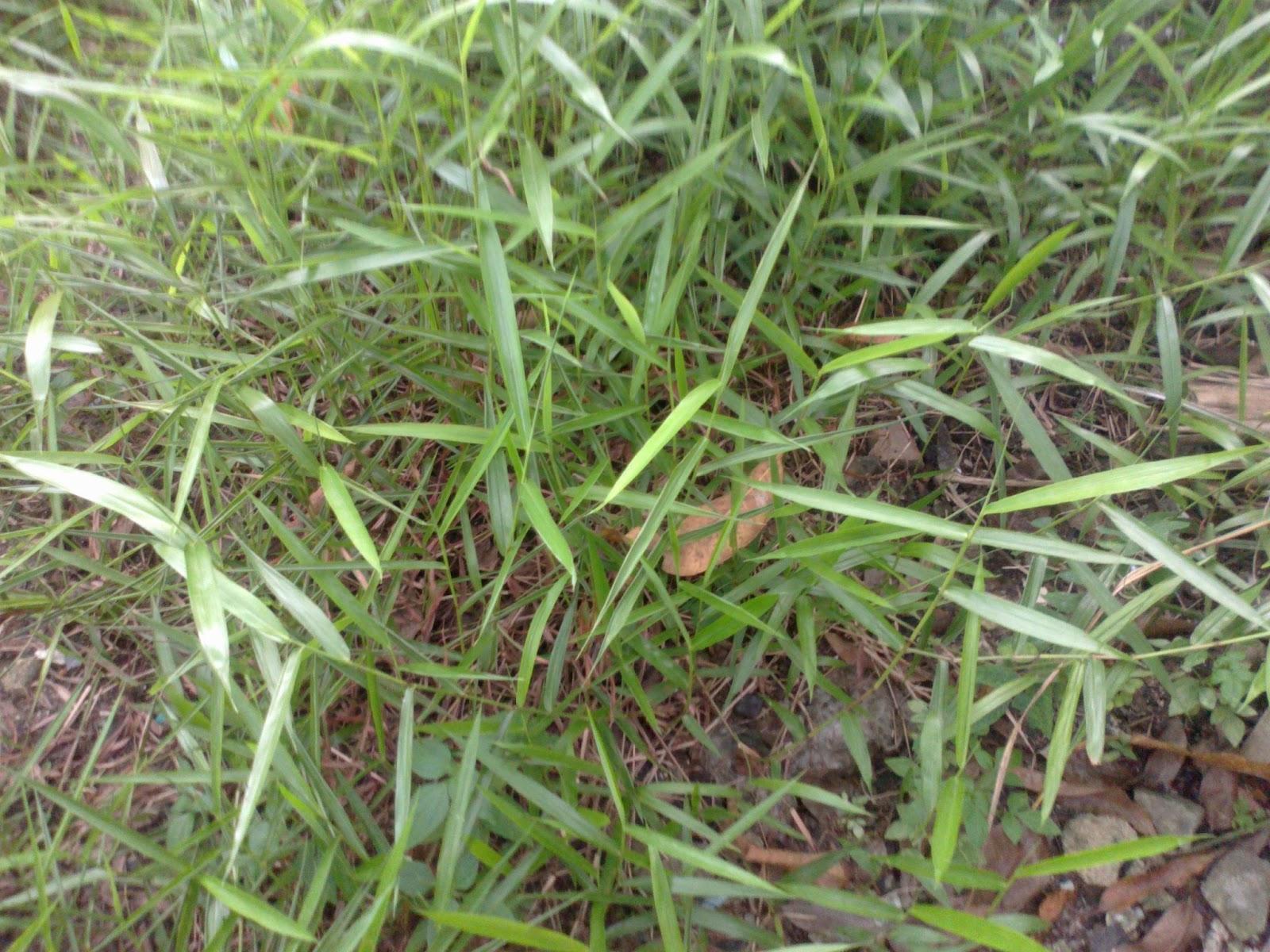 ObatObatan Rumput Bambu