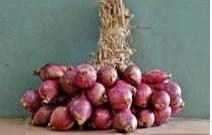 Bawang merah varietas Pancasona