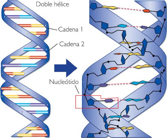 Mis Tareas.com: ADN Y ARN