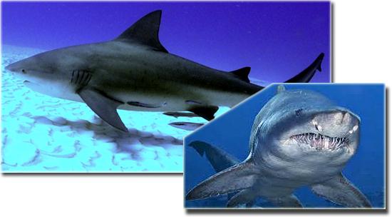 5 terríveis animais de água doce - Tubarão