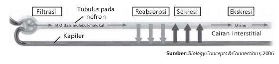 Proses pembentukan urine melalui 3 proses