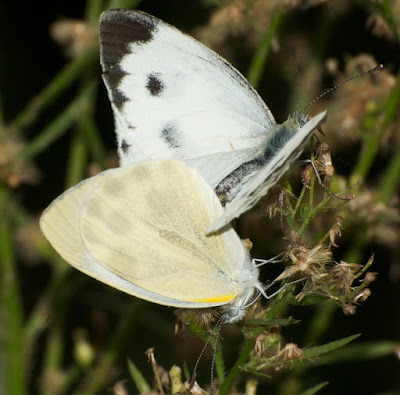 Indian cabbage white (Pieris canidia)