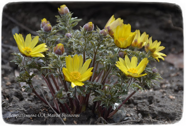 адонис-весенний-горицвет-желтые цветки