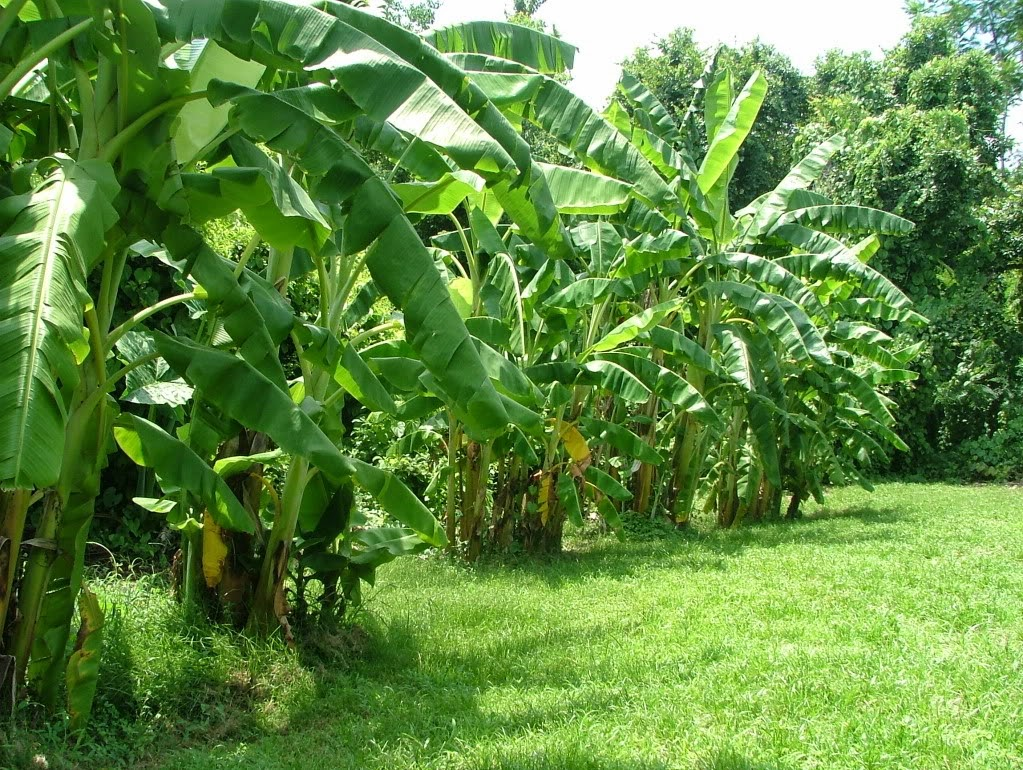 Health Benefits Of Bananas For Pregnant Women  Health -8079