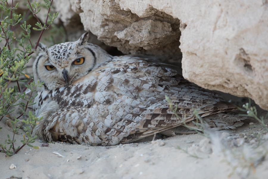 Pharaoh Eagle Owl – Jubail area