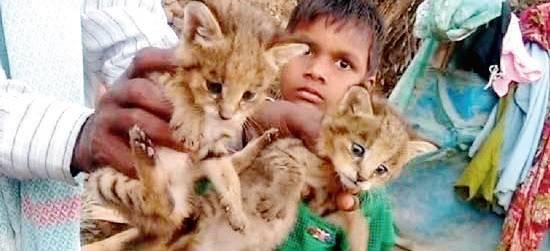 6-Year-Old Boy Mistakes Leopard Cubs For Cats, Brings Them Home, Poonai kutti ena ninaitthu siruthai kuttigalai veettukku edutthuvandhu valarttha siruvan, tamil news, vinodha seidhigal, tamil magazine