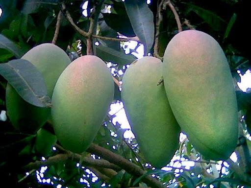 magnesium in mango