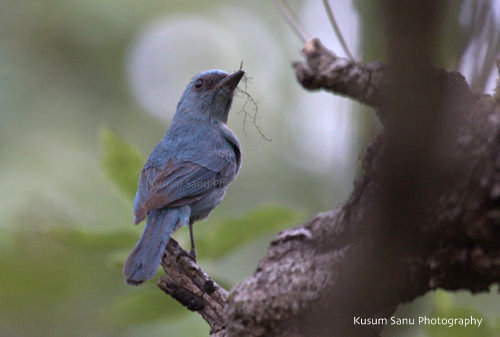 Veriditer Flycatcher female building the nest at McLeod Ganj, Himachal Pradesh