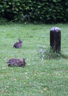 My regular visitors; the bunny rabbits