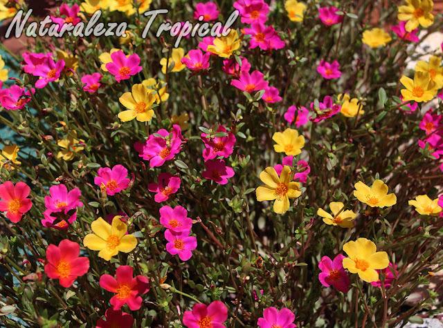 Cuidados básicos para cultivar Verdolagas en el jardín, Portulaca umbraticola