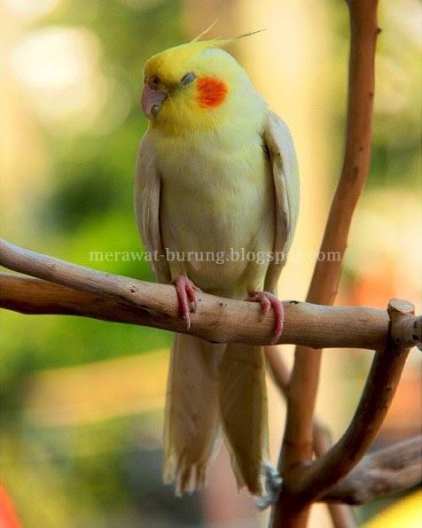 Sebagai burung kicauan dan sekaligus burung yang populer dengan bulu Tips Perawatan Burung Parkit dan Cara Meracik Pakan Burung Parkit