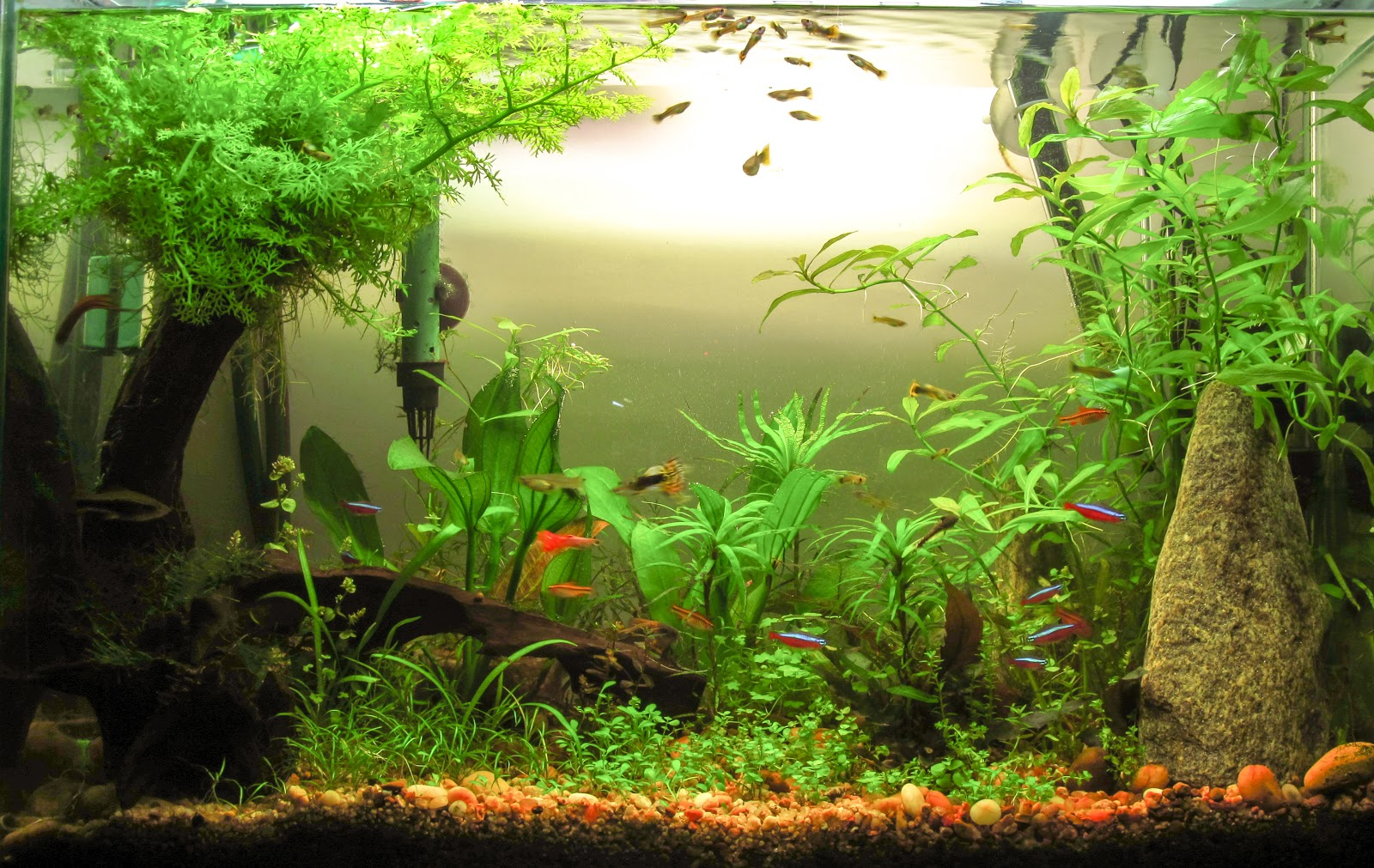 Peces tropicales de agua dulce for Comida para peces tropicales acuario