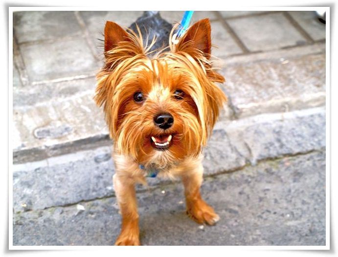 Yorkshire terrier facts pictures