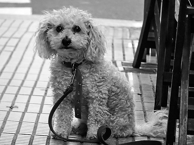 Perrito pequeño de color blanco.