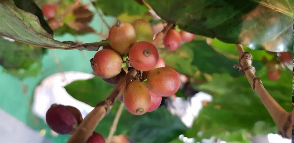 ผลของต้นกาแฟอาราบิก้า