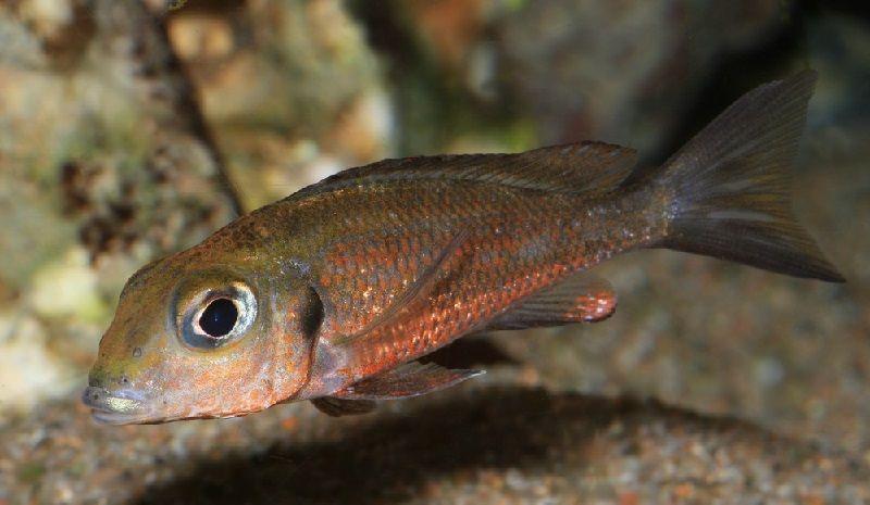 Gambar 9 Jenis Ikan Cichlid Afrika Dari Danau Tanganyika-Callochromis macrops ( Callochromis macrops )