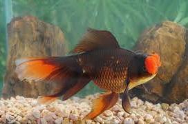 Inilah Jenis Ikan Koki Beserta Gambar Ikan Koki popom pom