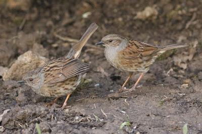 Dunnocks cloacal pecking