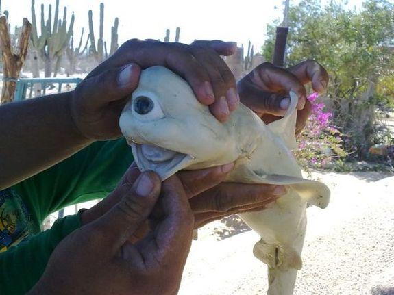 albino baby shark one eye